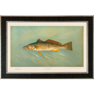 American Fish 26 the Weakfish or Squeteague by Harris CFA Edition Giclee Print For Sale