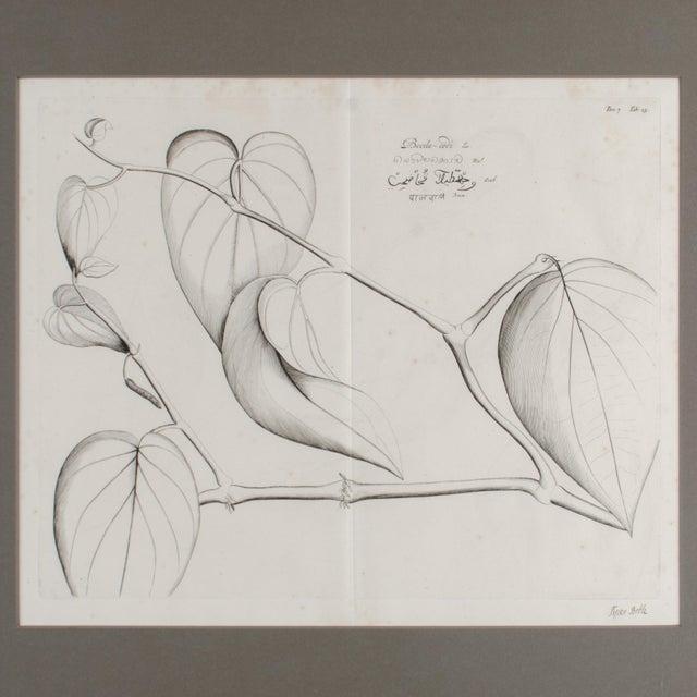 17th Century Hendrik Van Rheede Botanical Engravings, 17th Century - a Pair For Sale - Image 5 of 11