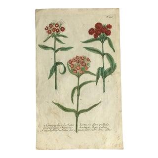 Sweet Williams Botanical by Johann Weinmann C1700's For Sale