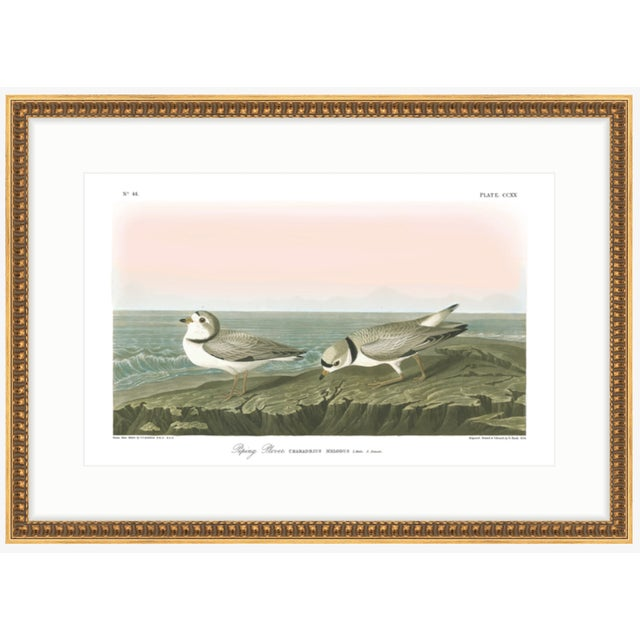 "John James Audubon Soicher Marin Piping Plover Audubon ""Birds of America"" Gold Framed Print For Sale - Image 4 of 4"