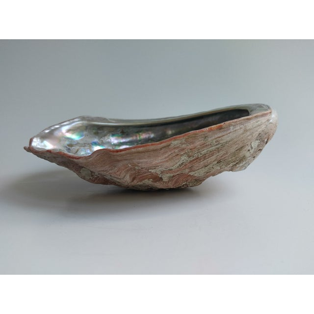 Abalone Red Abalone Shell Object For Sale - Image 7 of 9