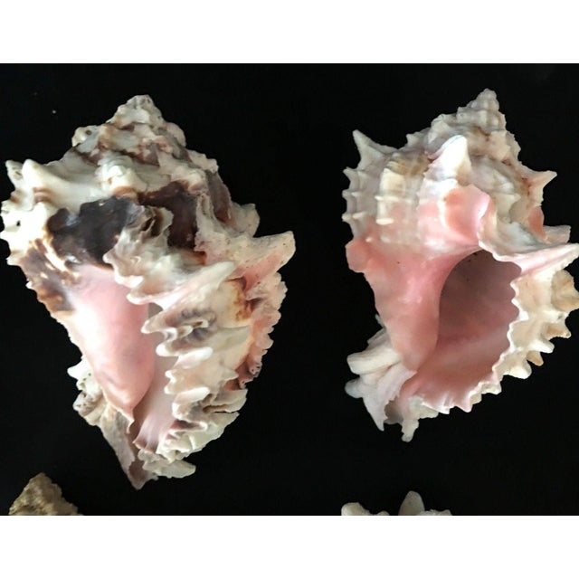 Nautical Murex Shell Lot - Set of 8 Shells For Sale - Image 3 of 12