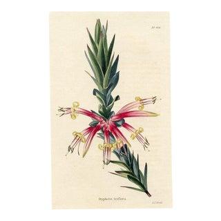 Pink Five-Corners, 1820s Hand-Colored English Botanical Print For Sale