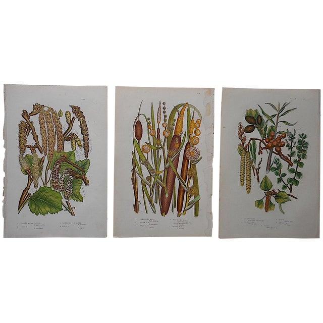 Antique English Botanical Lithographs - Set of 3 For Sale
