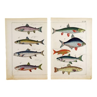 Hand Colored Antique Fish Woodcut Prints - a Pair