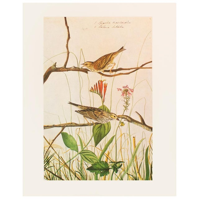 Green 1960s Vintage Savannah Finch and Savannah Sparrow Cottage Print by Audubon For Sale - Image 8 of 8