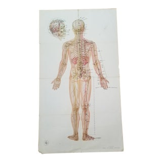 Vintage Anatomical Poster Chart 23x43 For Sale