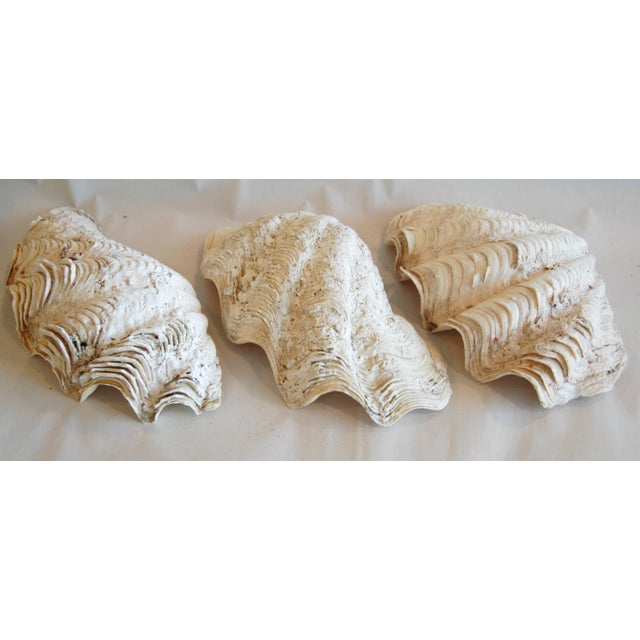 Antique Nautical Seashells Clamshells - Set of 3 - Image 3 of 7