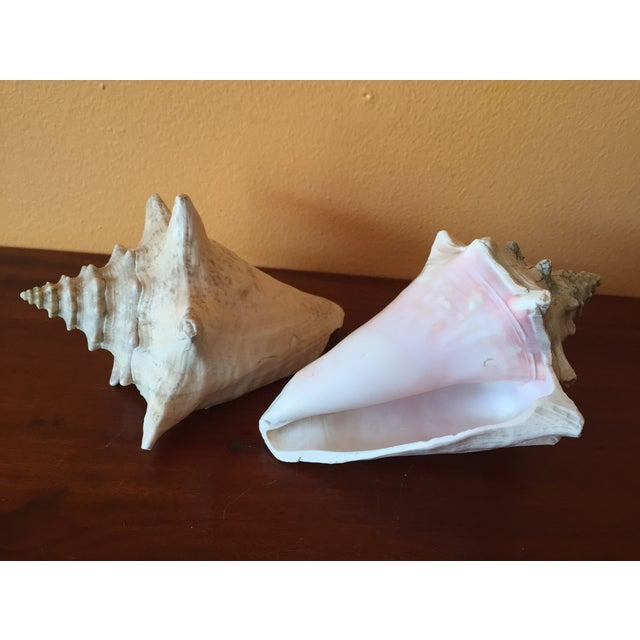 Vintage Queen Conch Shells - A Pair - Image 8 of 11