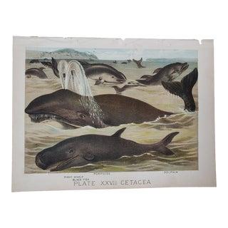 Whale Dolphin Fish Nautical Naturalist Coastal Art Illustration Print For Sale