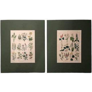 1812 Antique Botanical Drawings - A Pair For Sale