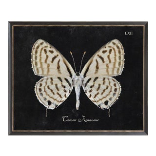"Brown & Cream Butterfly Plate LXII on Black Background in Black Beaded Frame - 26""x20"" For Sale"