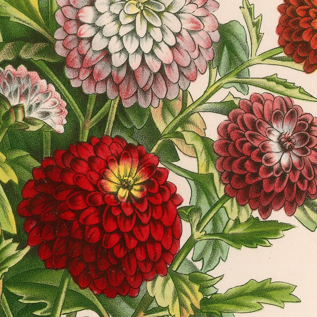 Vintage Mums Archival Print For Sale - Image 4 of 5
