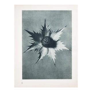 Karl Blossfeldt Photogravure N58-57, 1935