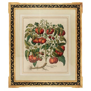 "Basilius Besler ""Pomaamoris Fructu Rubro"" Botanical Print For Sale"