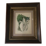 Image of Vintage Stanhopea Orchid Botanical Print For Sale