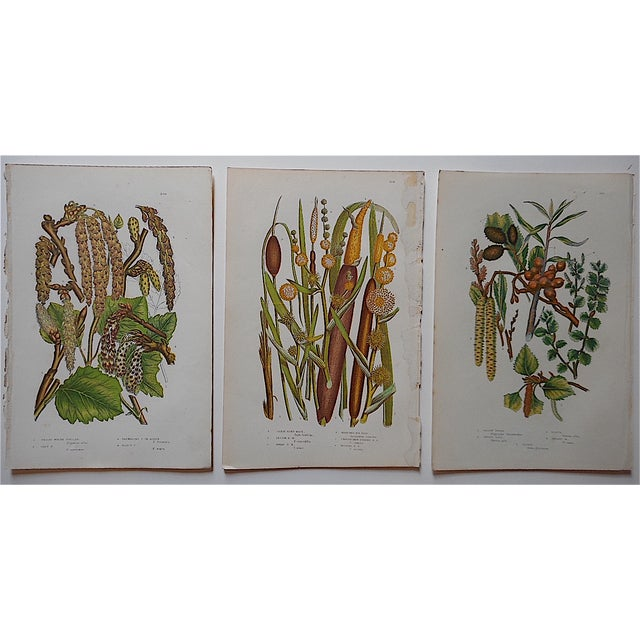 The seller says: These three antique 19th century botanical chromolithographs (each color laid in with a separate...