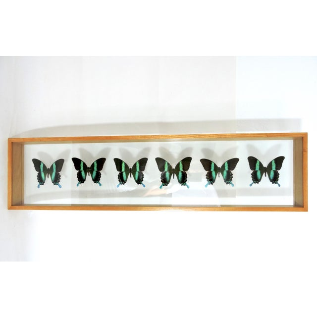 Blue Morpho's & Ulysses Box Framed Butterflies Wall Panel Hangings - Set of 3 For Sale - Image 11 of 13