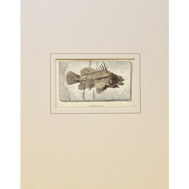 Antique Fossilized Fish Print For Sale