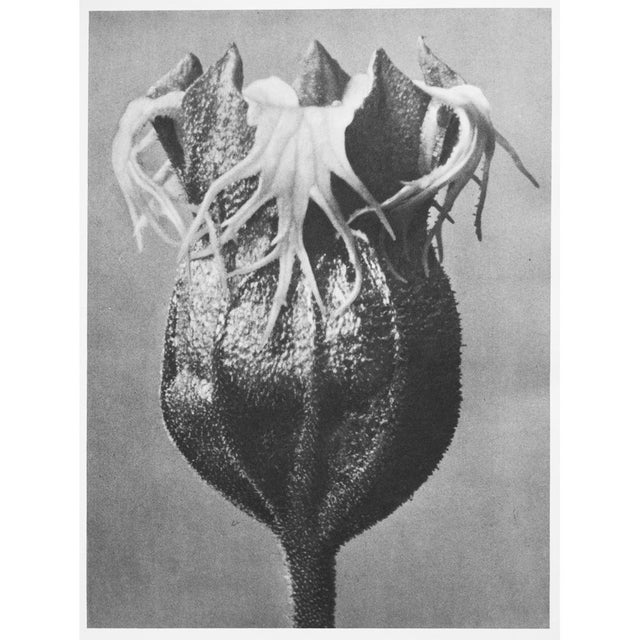 1935 Karl Blossfeldt Photogravure N74-73 For Sale - Image 12 of 12