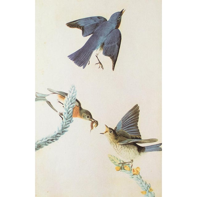 A stunning vintage Cottage or Farmhouse Style reproduction of the original lithographic print of Eastern Bluebird by John...
