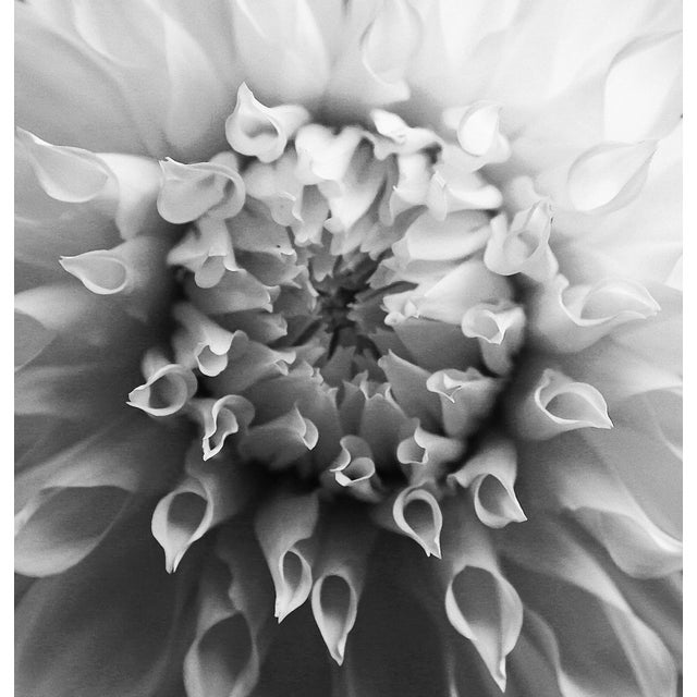 "Transitional ""Petal Origin 1Bw"" Photography For Sale - Image 3 of 3"