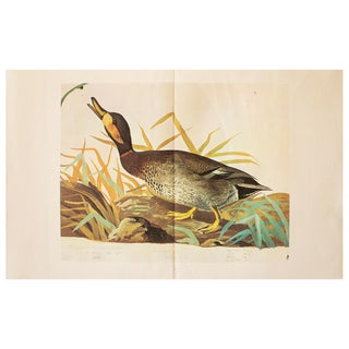 1966 Cottage Print of Brewer's Duck by Audubon For Sale