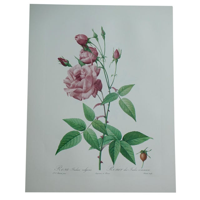 Reproduction Pink Rose Botanical Print For Sale