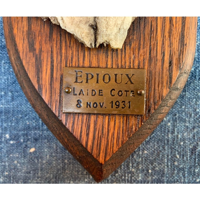 """Great old roe deer antlers from Epioux Luxembourg. Plaque reads """"Epioux Laide Cote 8 Nov 1931"""""""