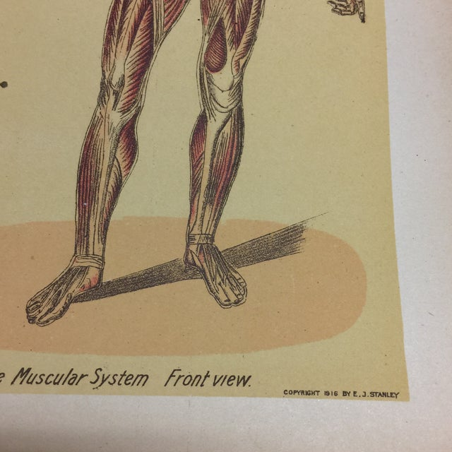 This is an antique medical lithograph from a book on the muscular system. The front view is by E. J. Stanley, copyright...