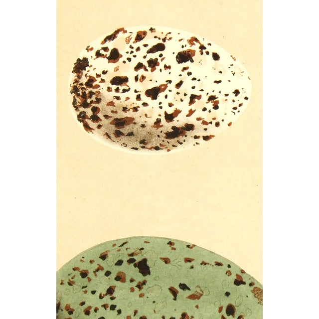 Antique Lithograph - Speckled Eggs, 1859 - Image 2 of 3