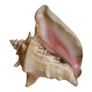 Extra Large Natural Conch Shell