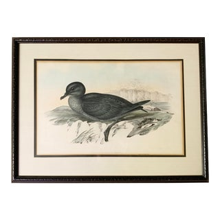 """Antique Gould Hand Colored """"Puffinus Brevicaudus"""" Lithograph Artwork For Sale"""