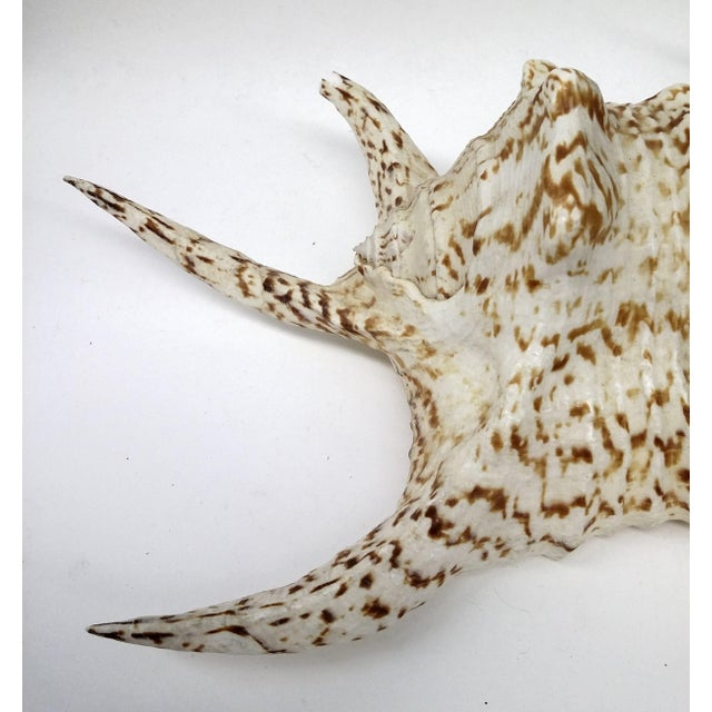 Spider Conch Shell - Image 4 of 9