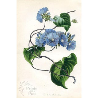 Five-Flowered Morning Glory, 1939 Botanical Print For Sale