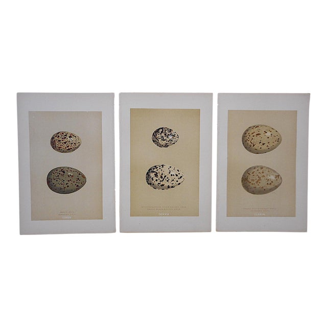 Antique Egg Lithographs-Set of 3-Gull Eggs For Sale