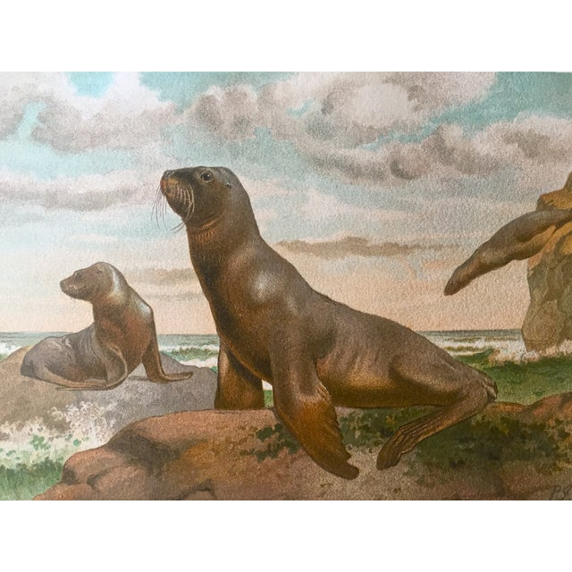 An original lithograph of a Stellar Sea Lion c. 1906. Excellent condition some foxing in margins.