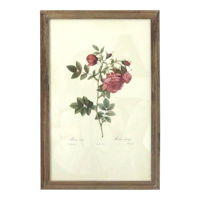 Antique Botanical Rose Print - Image 1 of 5