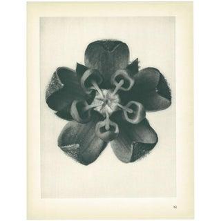 1928 Karl Blossfeldt Original Period Photogravure N82 of Asclepias Syriaca For Sale