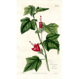 Turk's Cap Mallow, 1822 Botanical Print For Sale