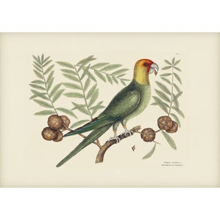 Mark Catesby Print of Parrot of Carolina, Plate 11 For Sale
