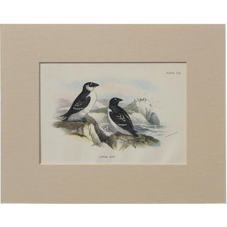 1890 Little Auk Sea Bird Chromolithograph