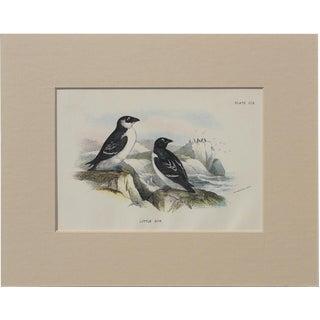 1890 Little Auk Sea Bird Chromolithograph For Sale