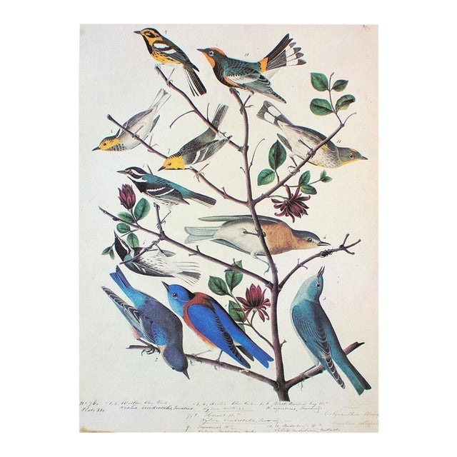 American Bluebirds and Townsend's Warbler by Audubon, Vintage Cottage Print For Sale