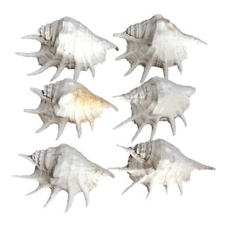 Mediterranean Sea Shells - Set of 6 For Sale