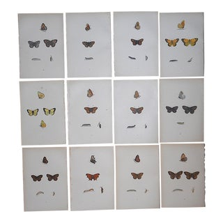 Antique 19th C. Lithographs-Butterflies-Hand Colored-Set of 12 For Sale