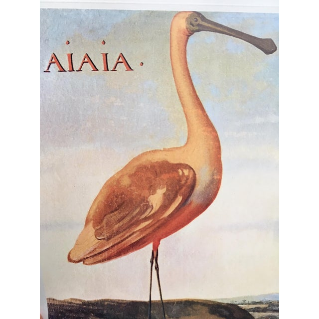 """Albert Eckhout's Roseate Spoonbill - 1970s Print of 1644 Painting From """"Birds of Brazil"""" - Image 2 of 3"""