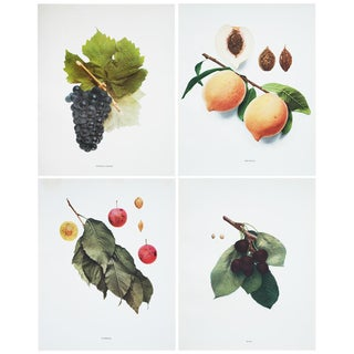 Antique Fruits of New York Photogravures by Hedrick - Set of 4