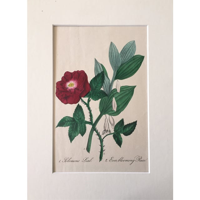 Ever Blooming Rose Hand Colored Lithograph C.1900 - Image 2 of 4