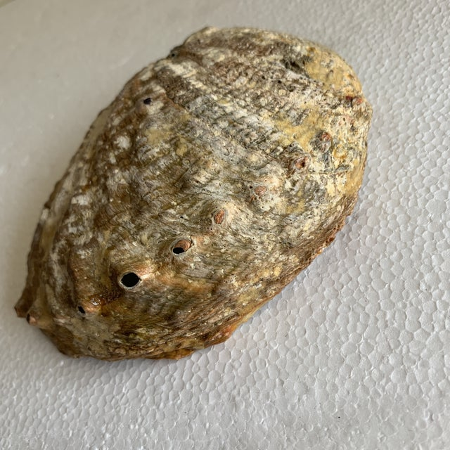 Natural Vintage Abalone Shell For Sale - Image 4 of 9